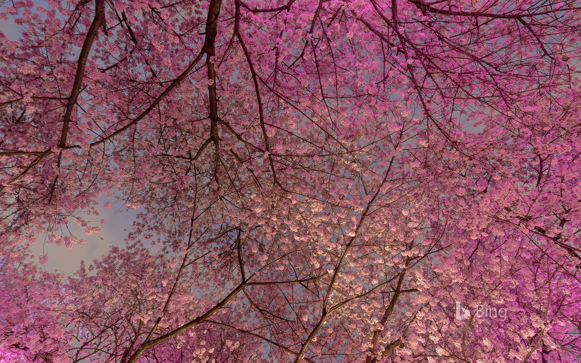 Blooming cherry trees in Vancouver, B.C., Canada