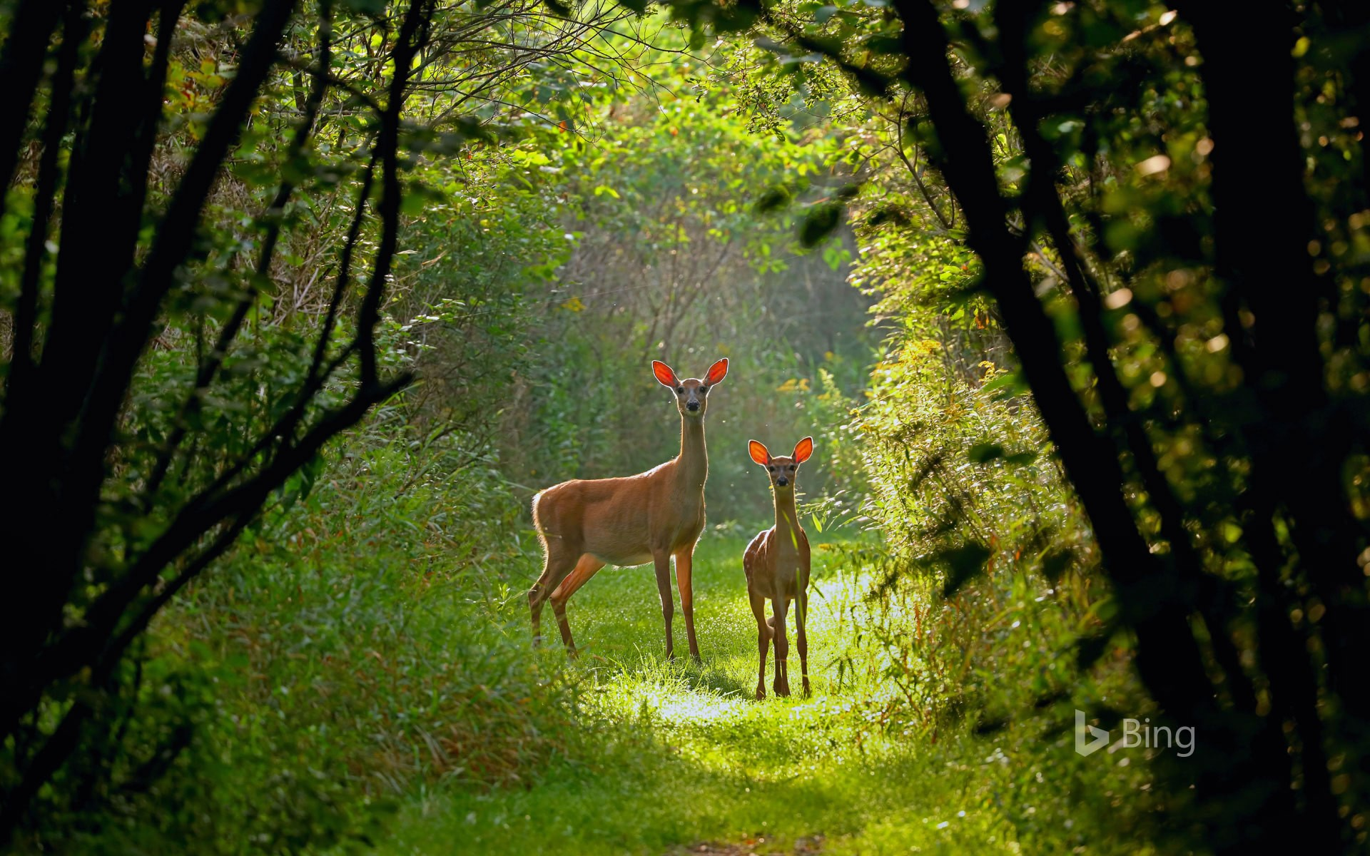 White-tailed doe and fawn in Wisconsin