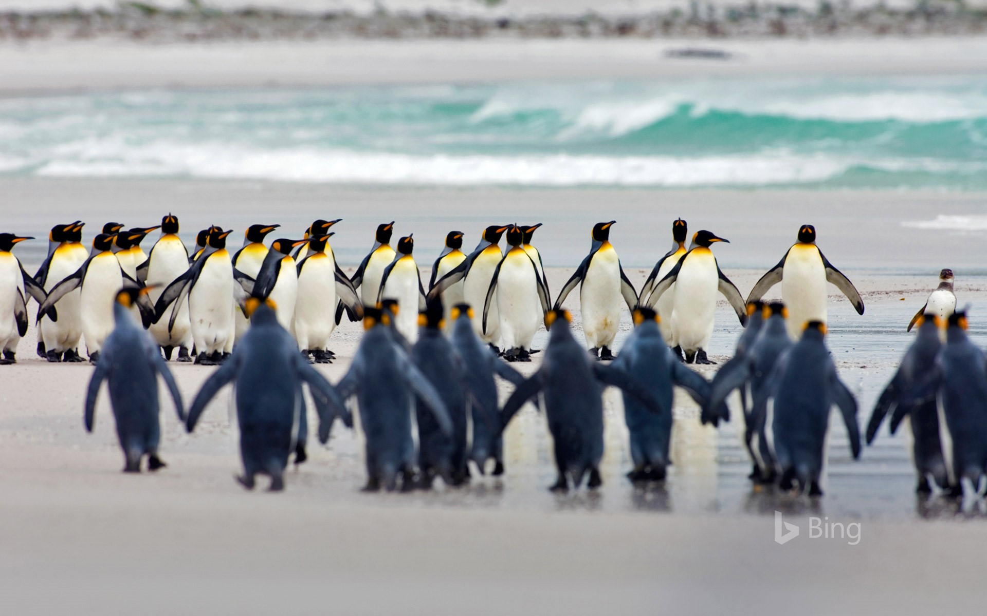 King penguins at Volunteer Point, Falkland Islands (© Luciano Candisani/Minden Pictures)