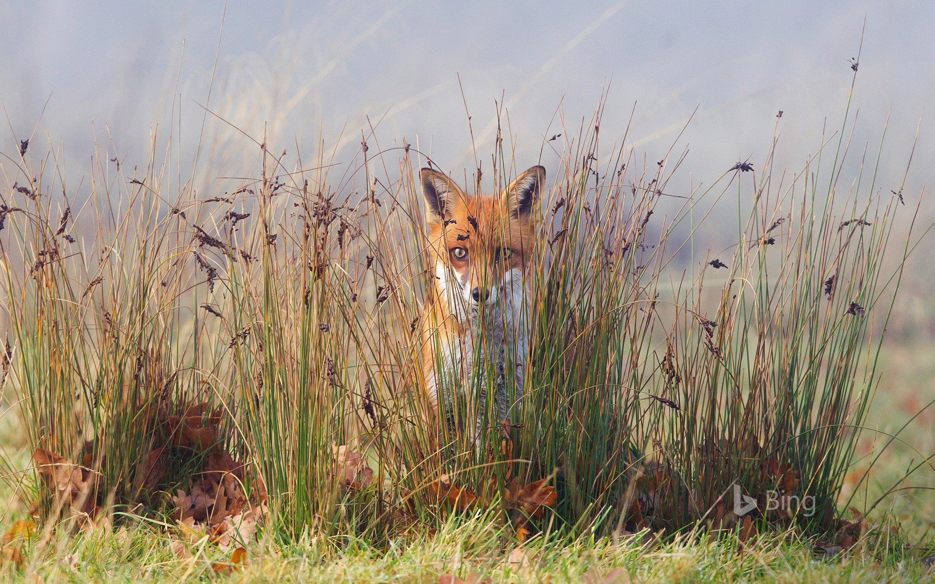A fox in the grass (© Frederic Desmette/Minden Pictures)