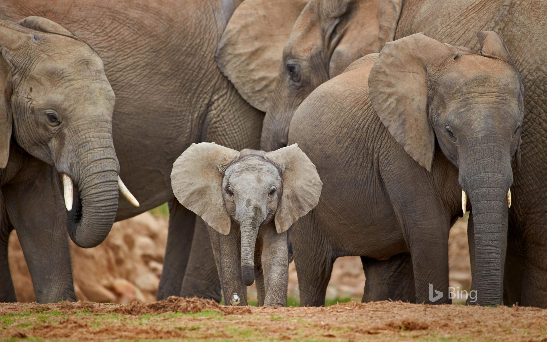 African elephants in Addo Elephant National Park, South Africa