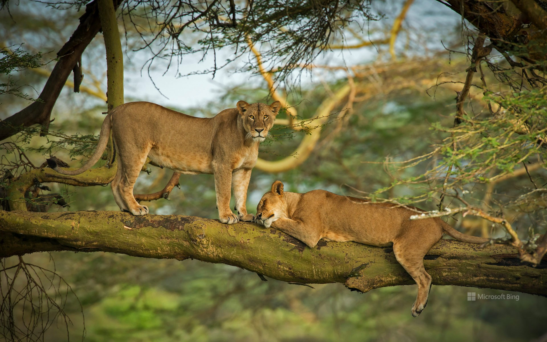 Two female lions in the forest surrounding Lake Nakuru, Kenya