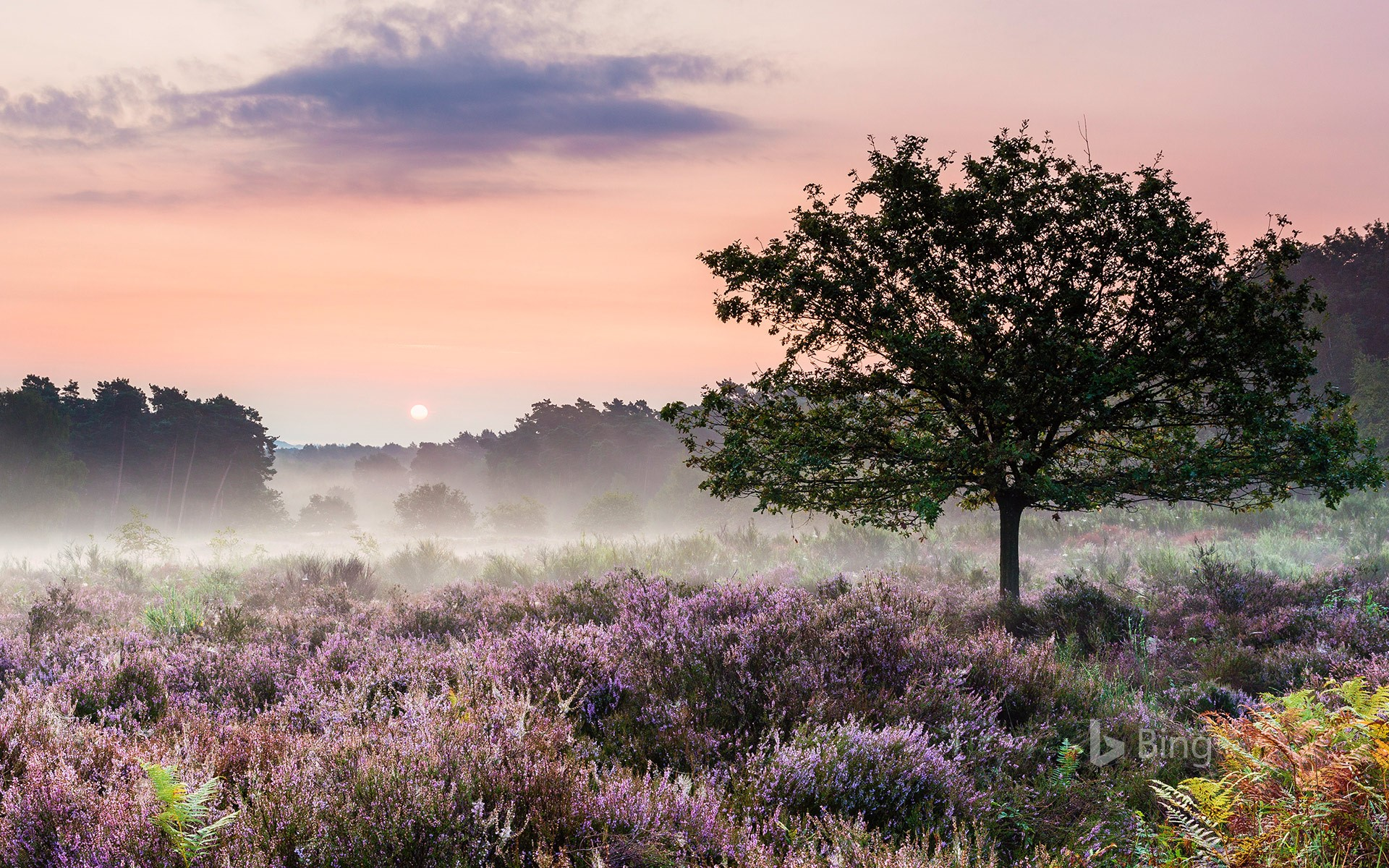 Heath blooming in Wahner Heide Nature Reserve in Troisdorf near Cologne, Germany