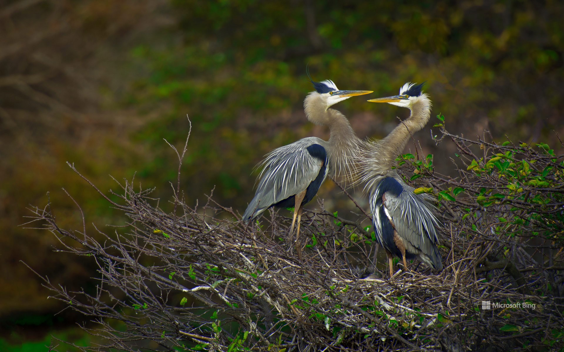 Great blue herons in the Wakodahatchee Wetlands, Delray Beach, Florida, USA