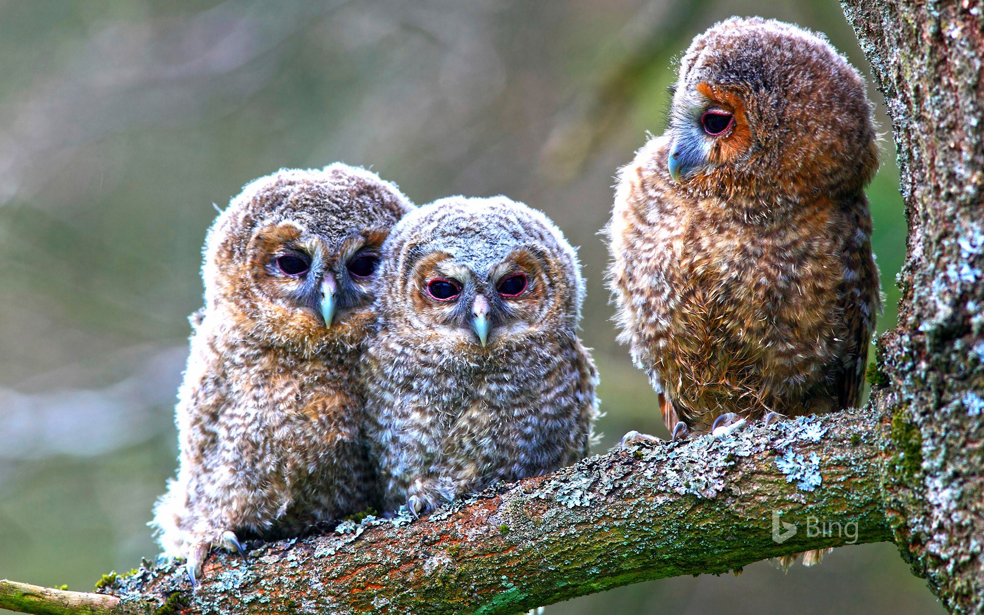 Young tawny owls perched on a tree, Hessen, Germany