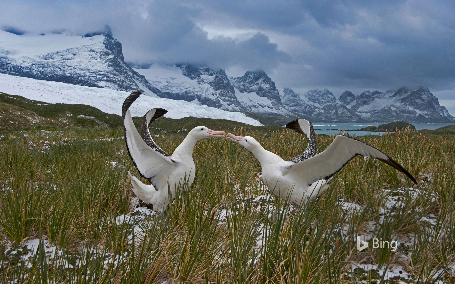 Wandering albatross pair, South Georgia Island