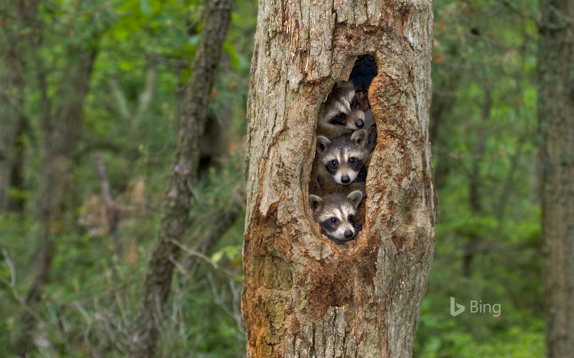 Raccoons huddled together in a tree