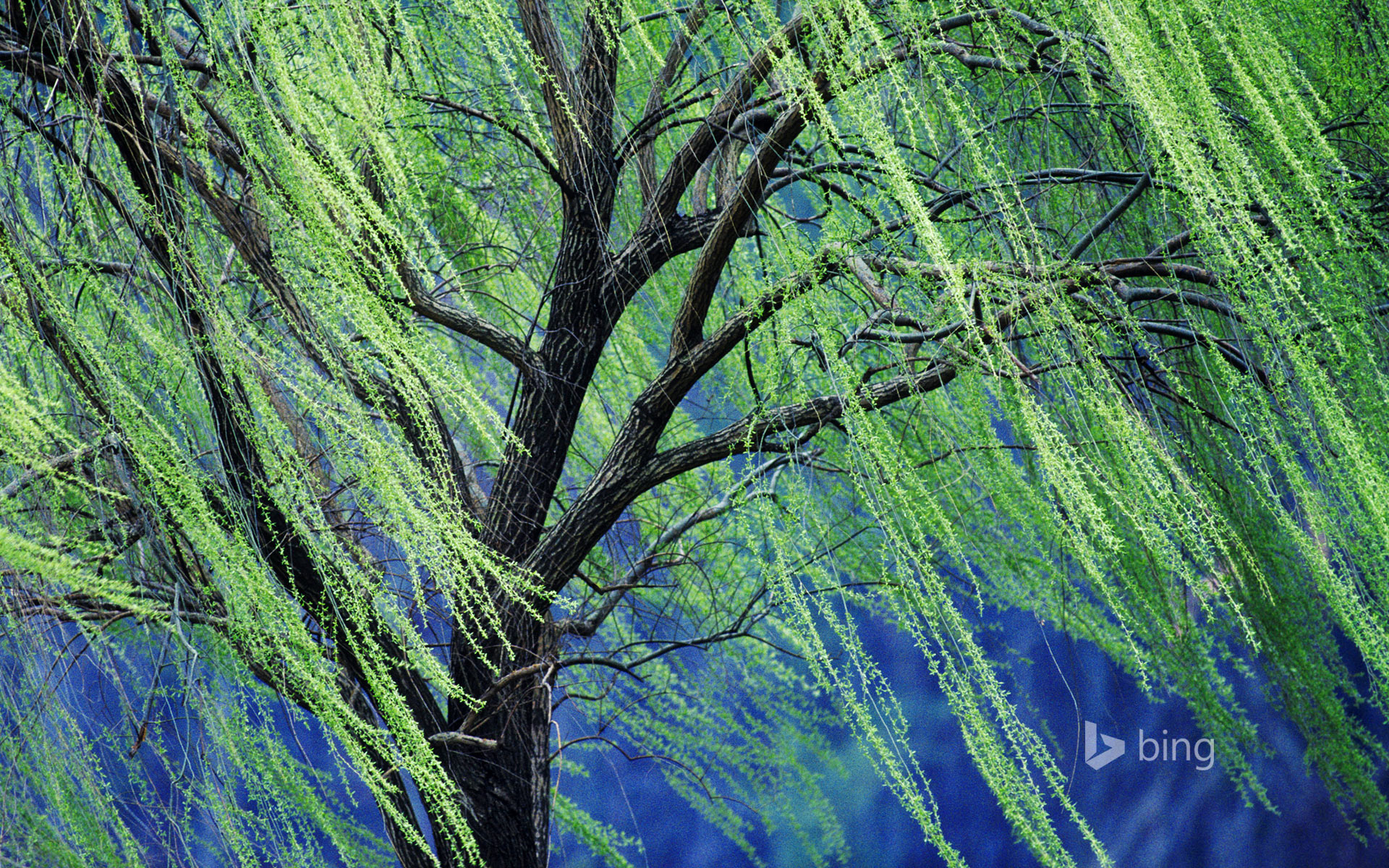 A Weeping Willow Tree 169 Rolf Nussbaumer Photography Alamy
