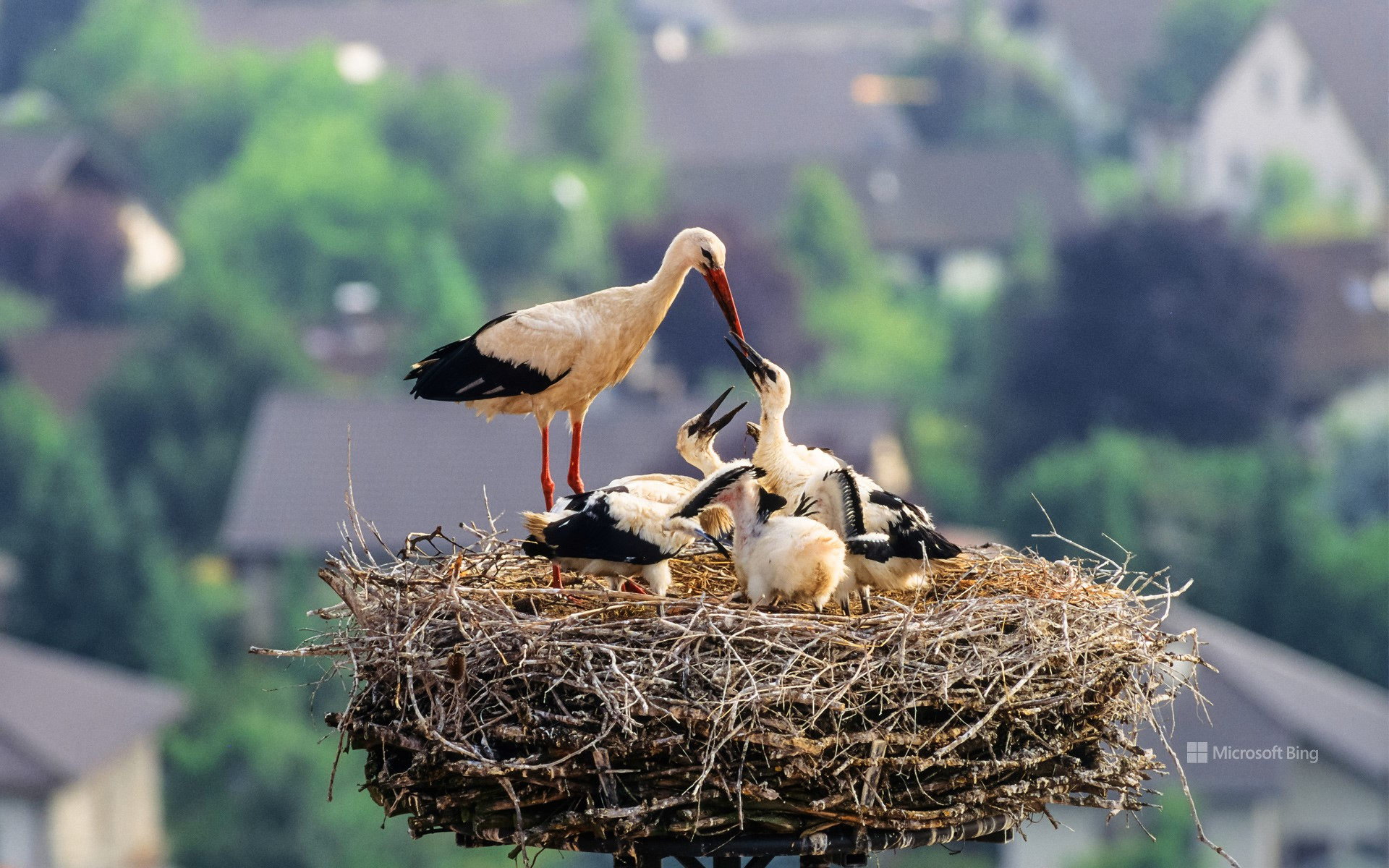 White stork with chicks in the nest, Germany