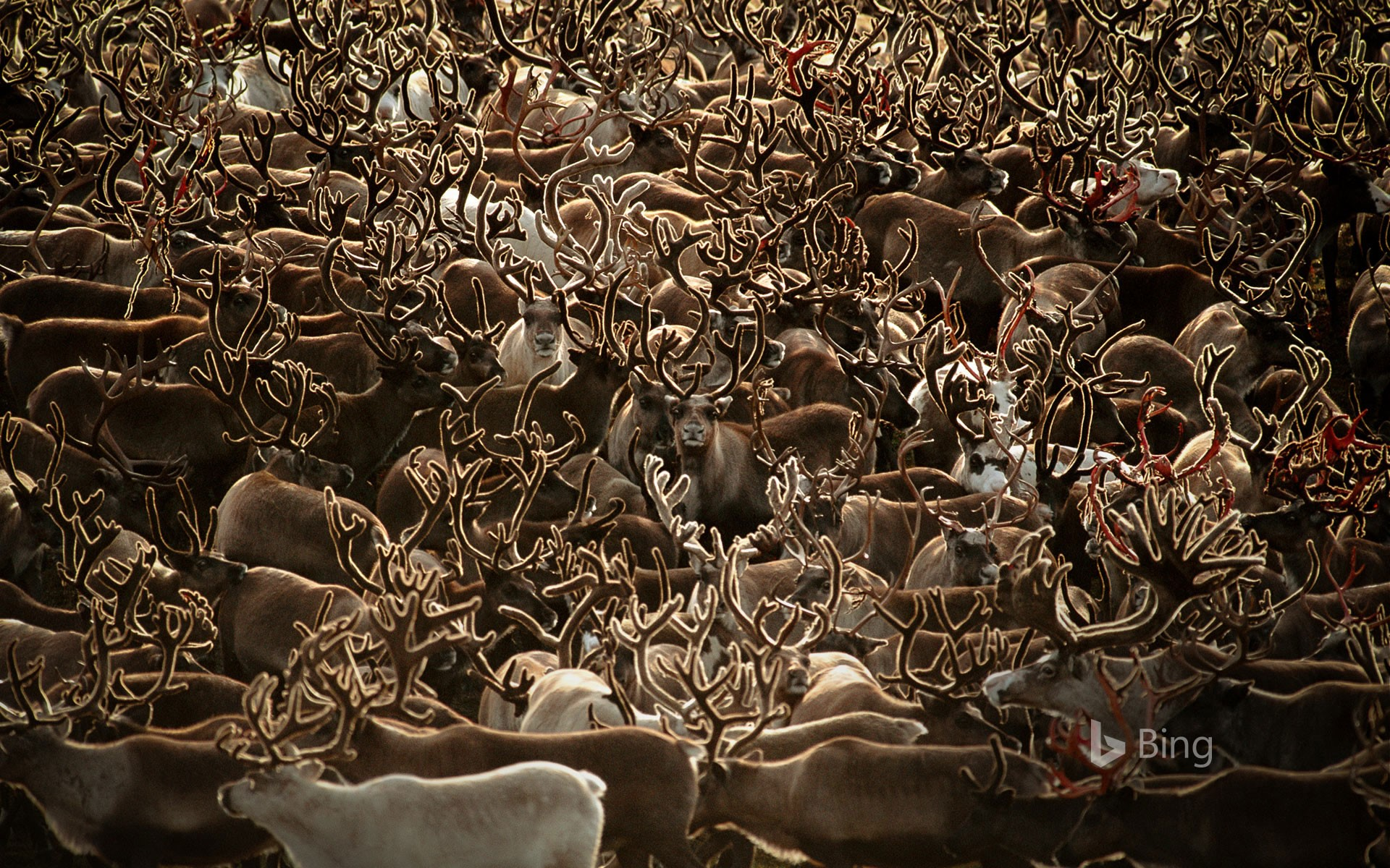 Caribou in Kobuk Valley National Park, Alaska (© Staffan Widstrand/Minden Pictures)