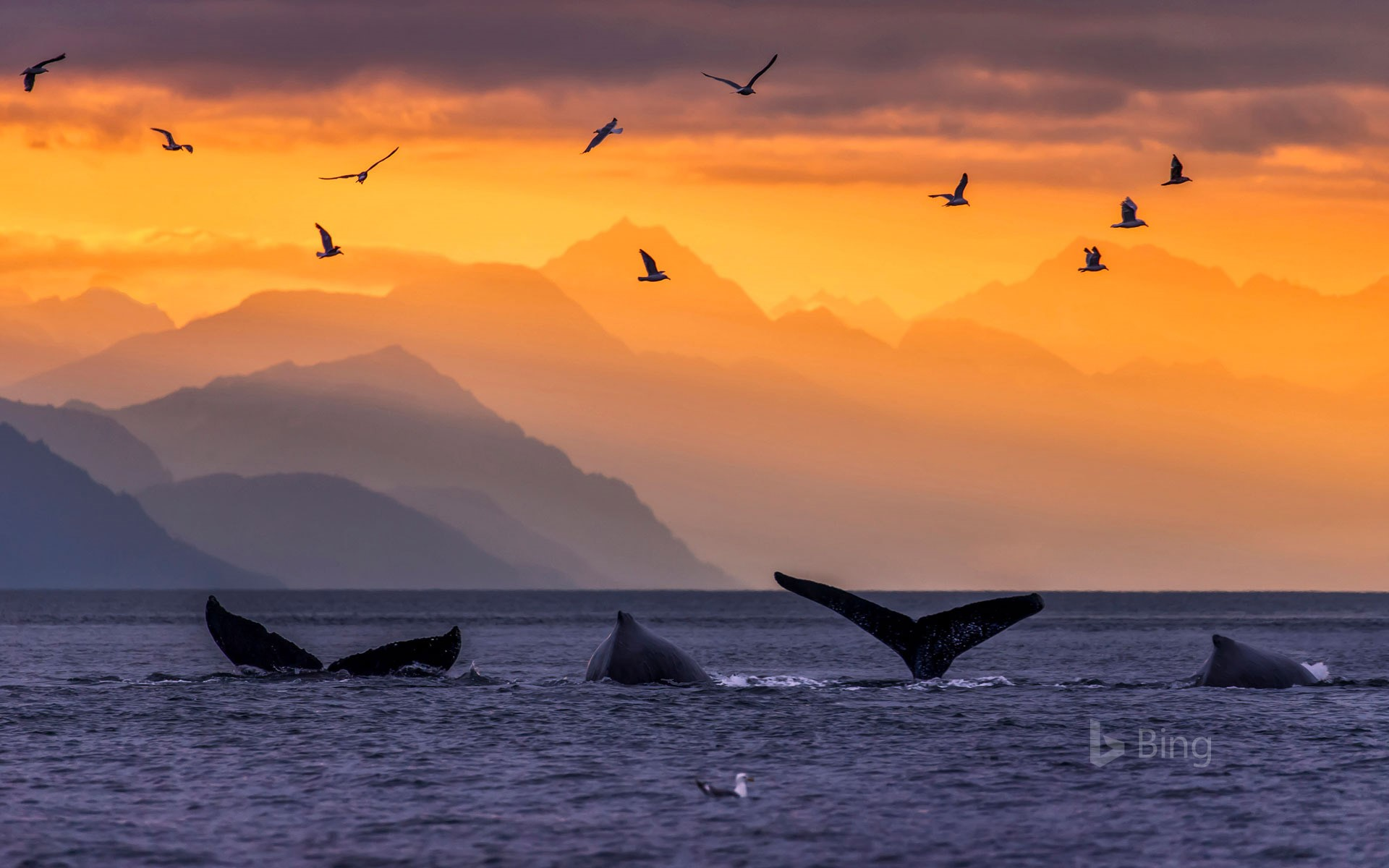 Humpback whale pod in Lynn Canal, in the Inside Passage of Alaska