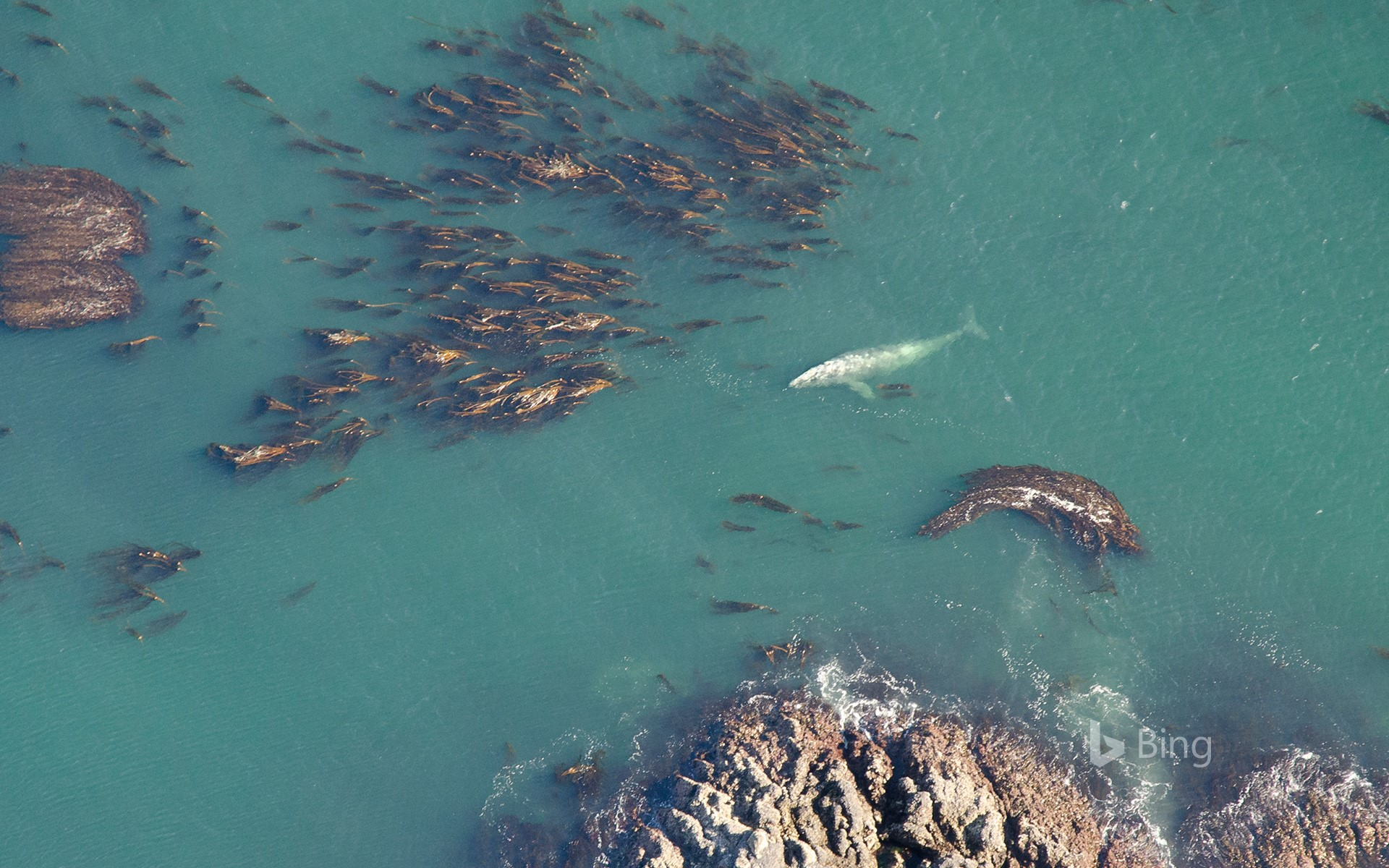 Aerial shot of grey whale (Eschrichtius robustus) at the surface among bull kelp in Vancouver