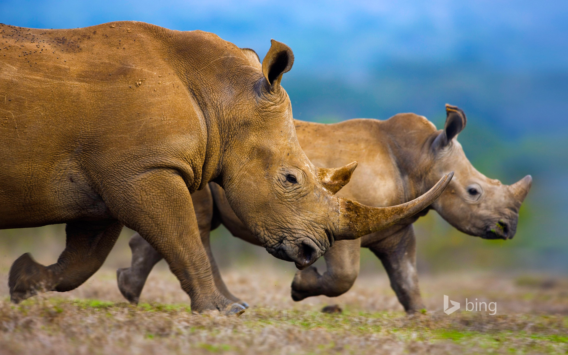 Southern white rhinoceros mother and calf