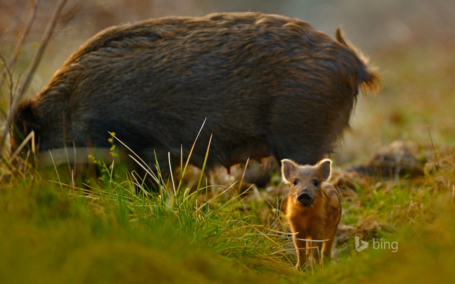 Wild boar and piglet in the Forest of Dean, Gloucestershire, England