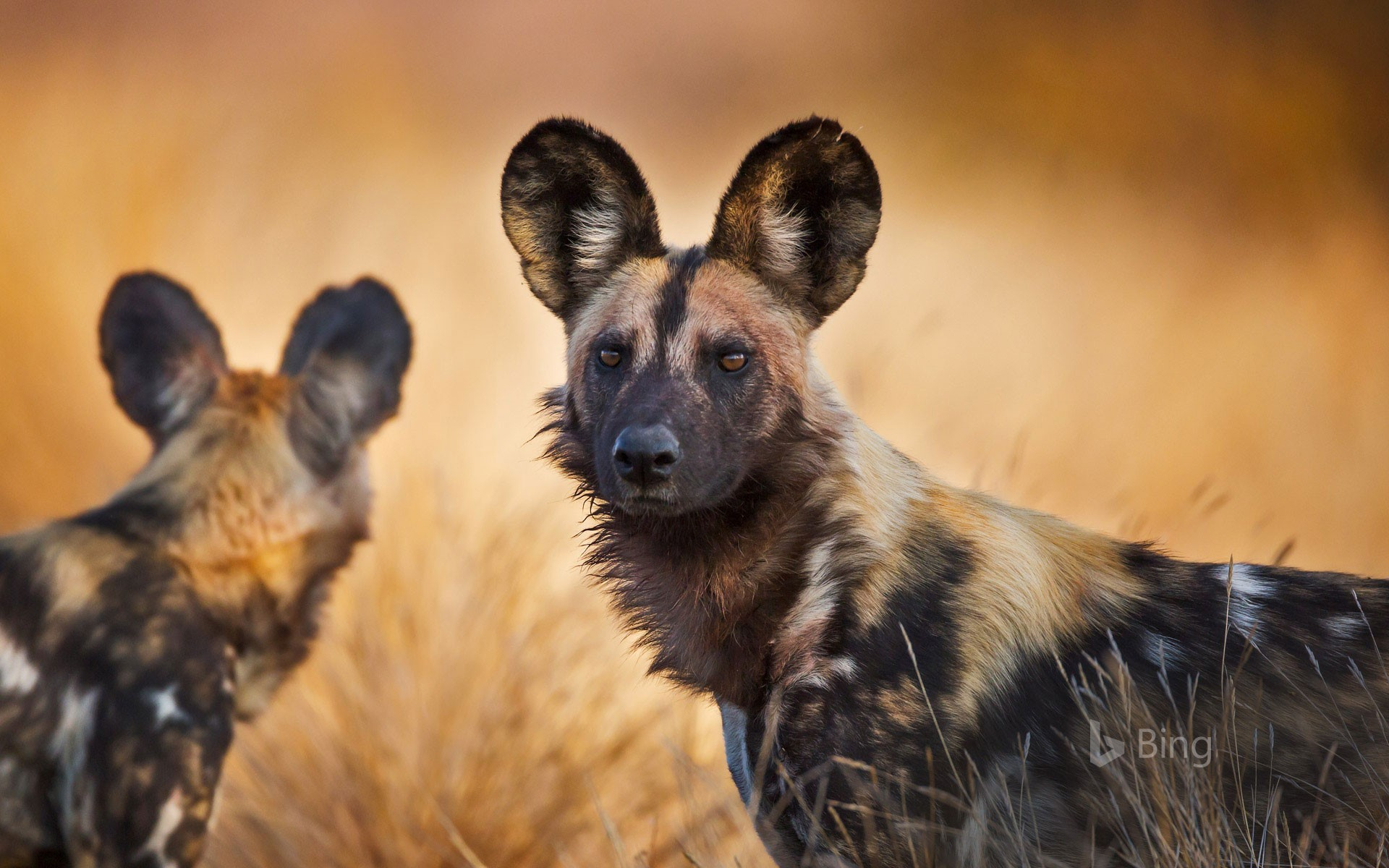 African wild dogs in Kruger National Park, South Africa