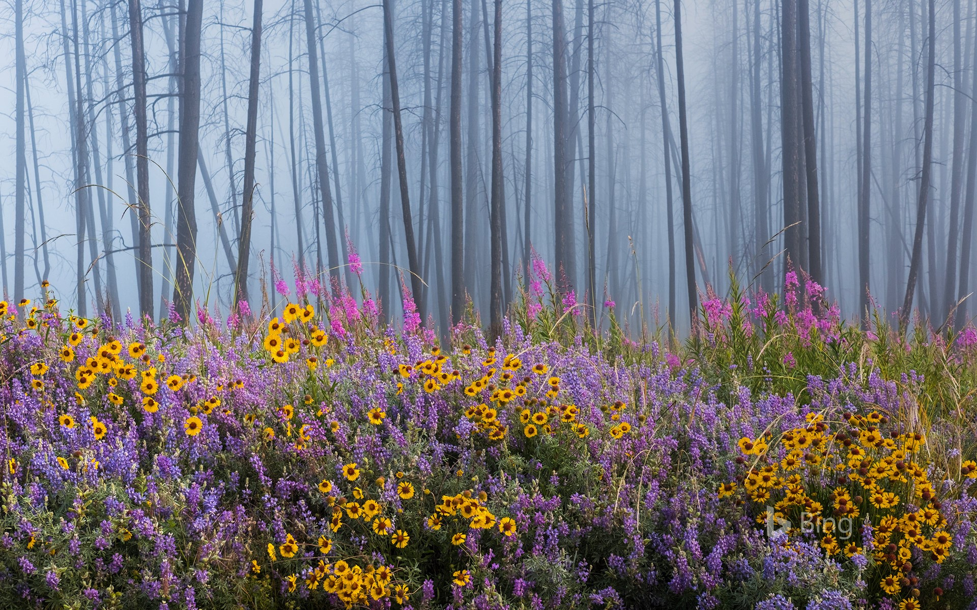 Kettle River Recreation Area bursting with wildflowers after a fire destroyed much of the forest, British Columbia, Canada