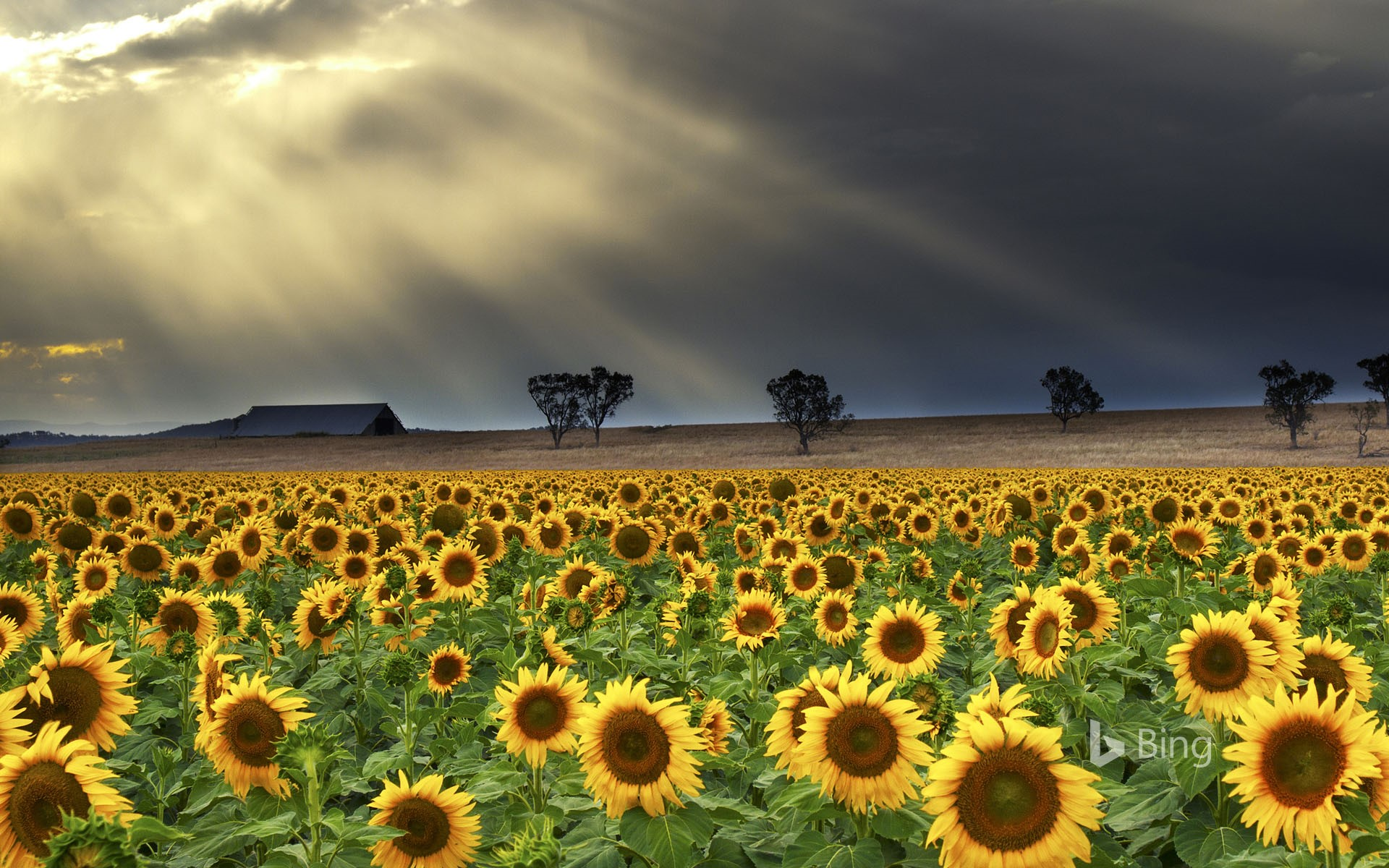 Sunflowers at Windy Station farm in Quirindi, New South Wales, Australia