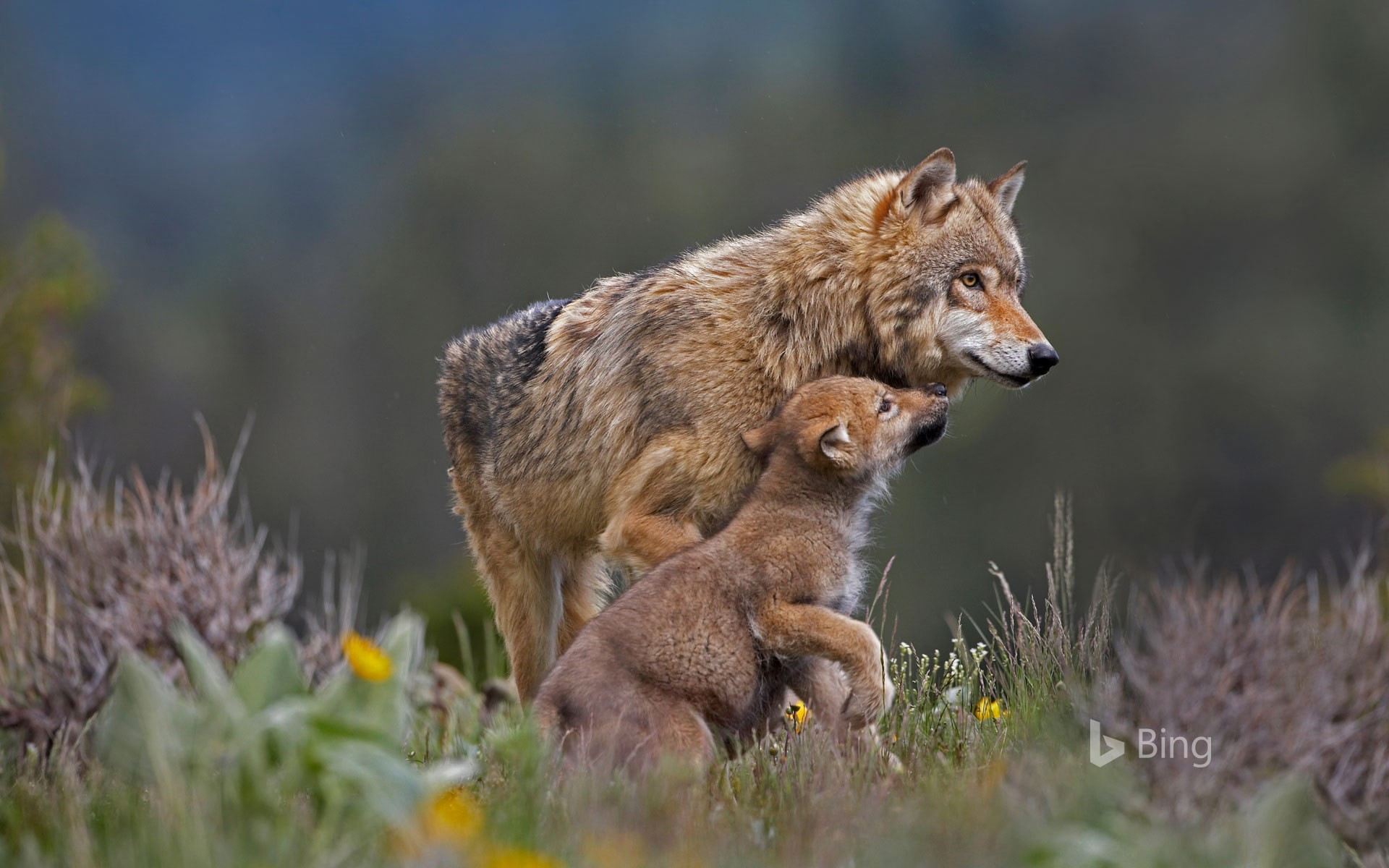 Gray wolf with pup, Montana