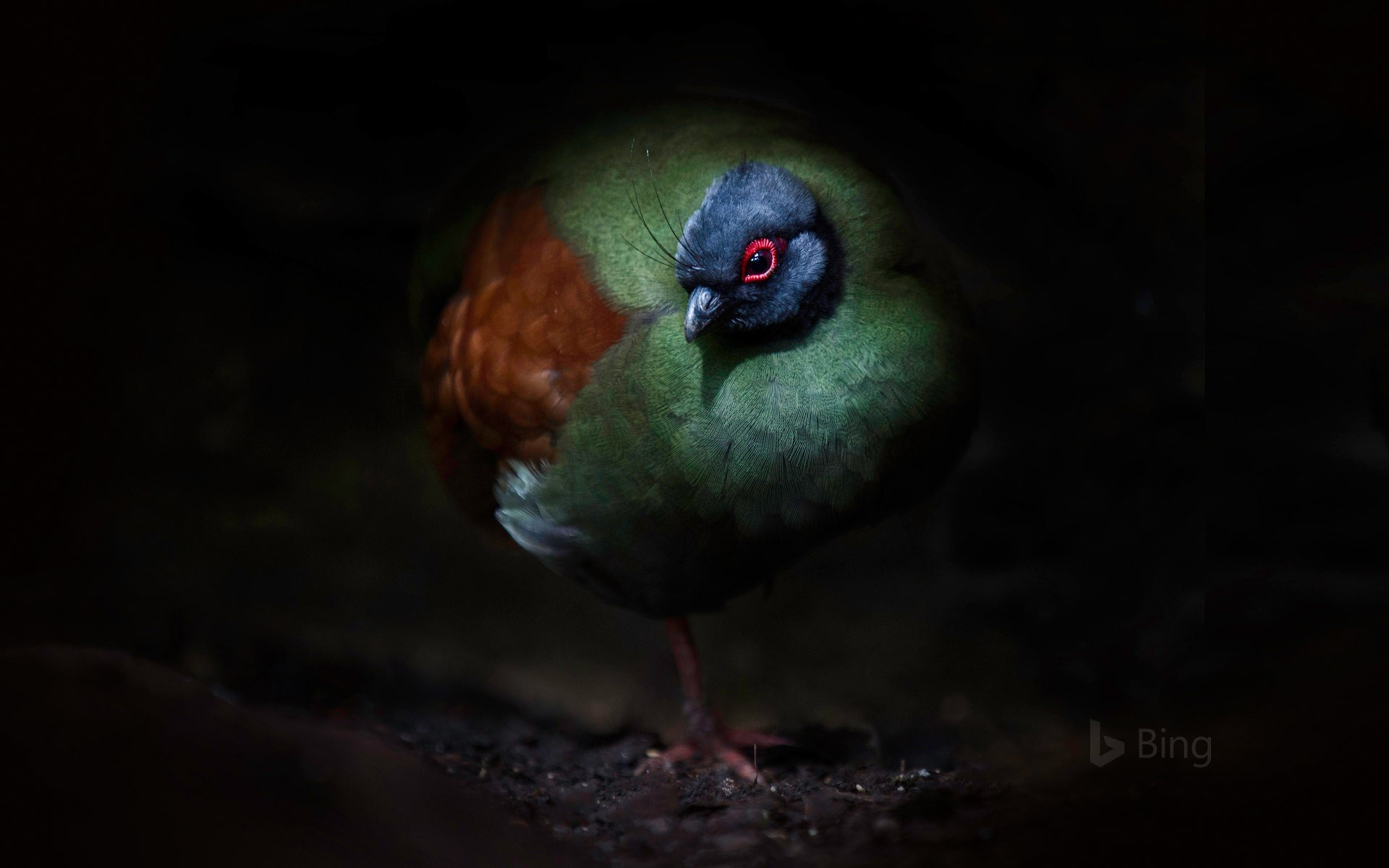 A crested partridge
