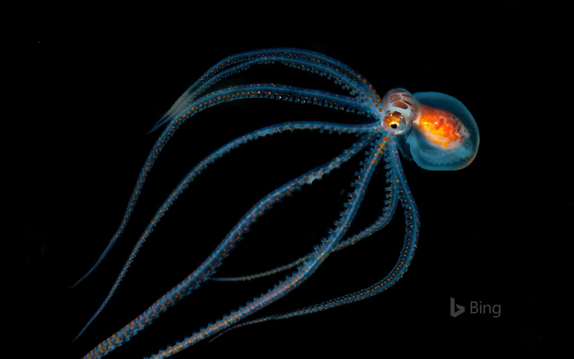 Octopus spotted during a night dive near Kona, Hawaii (© Jeff Milisen/Alamy)