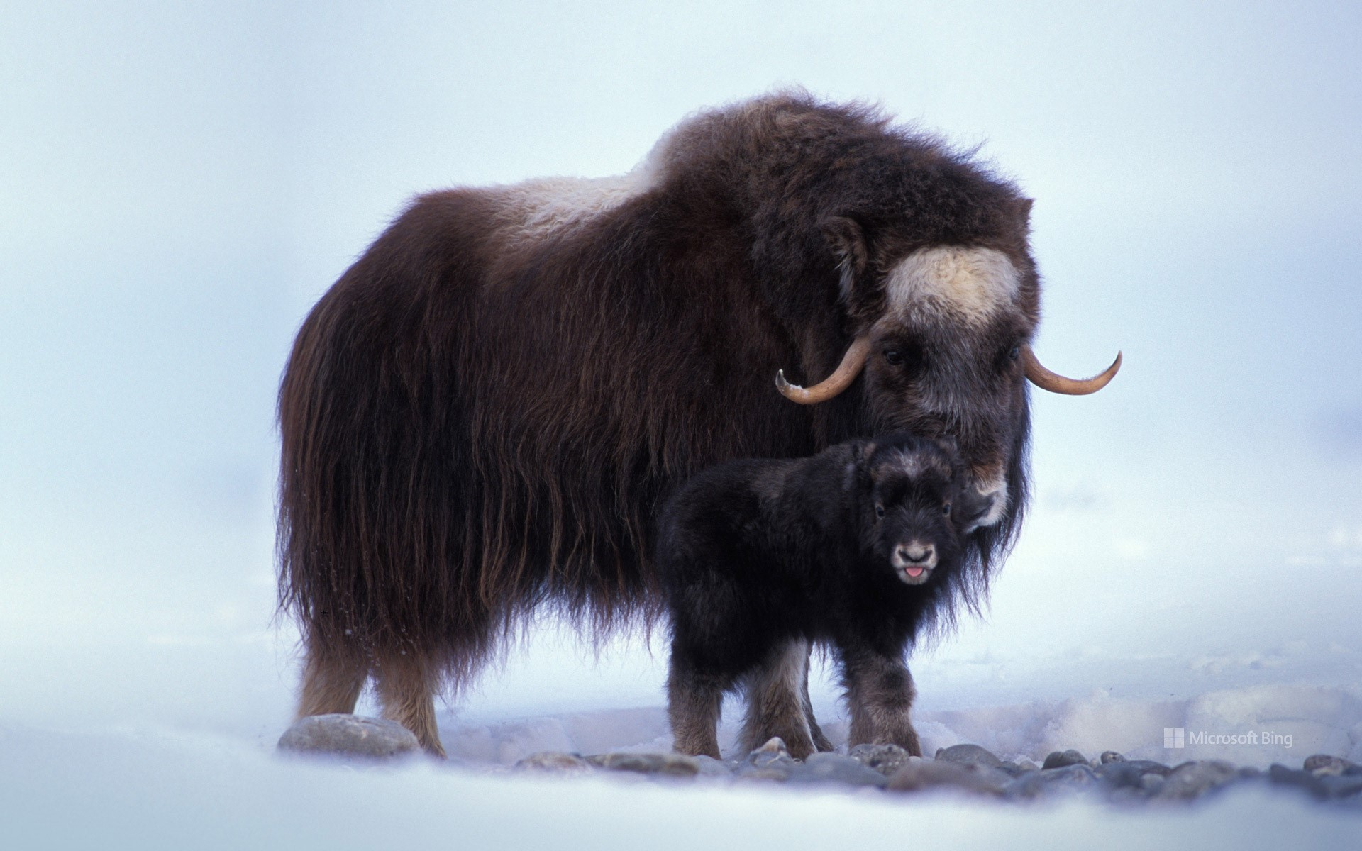 Muskox with newborn on the North Slope of the Brooks Range, Alaska