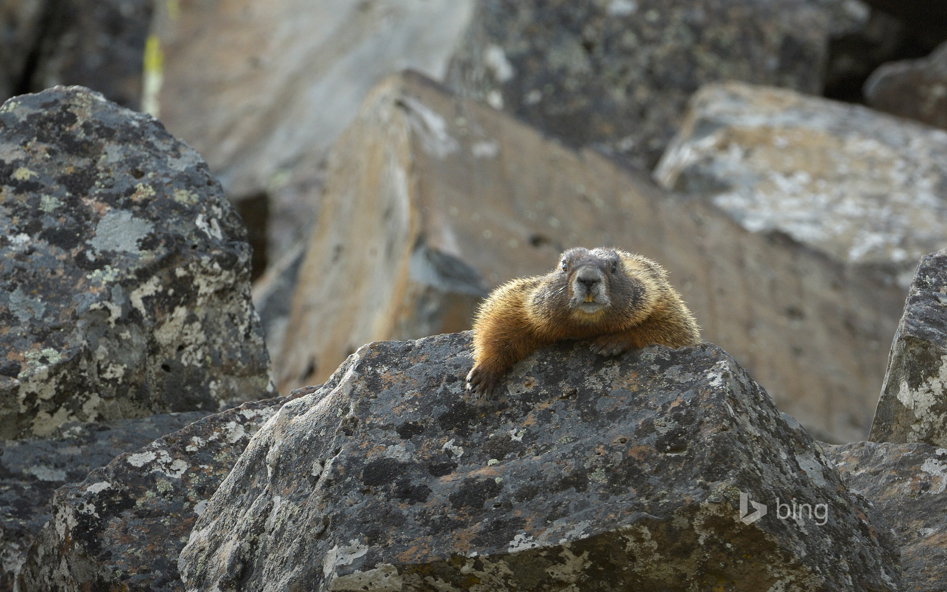 Yellow-bellied marmot in Yellowstone National Park, Wyoming