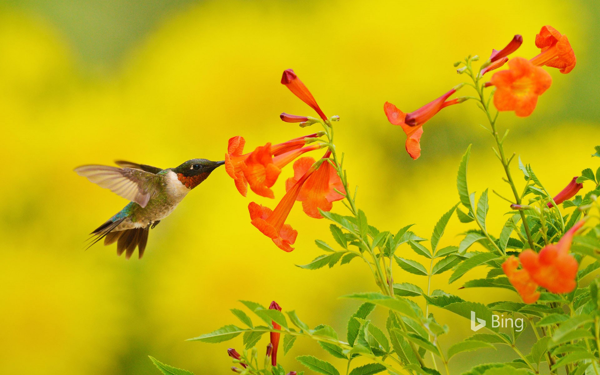 Ruby-throated hummingbird feeding on yellow bell flowers in the Texas Hill Country
