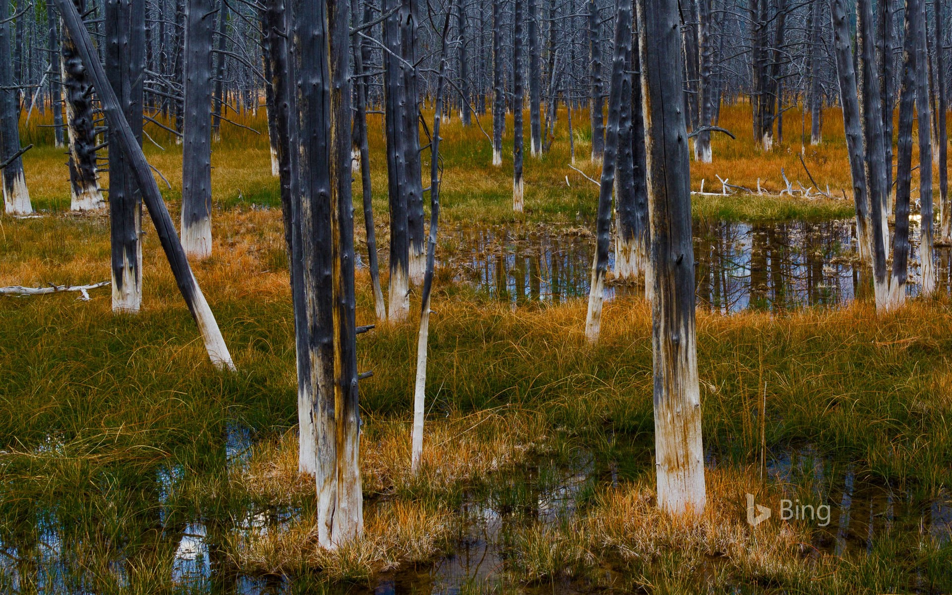 Aftermath of a forest fire in Yellowstone National Park, Wyoming