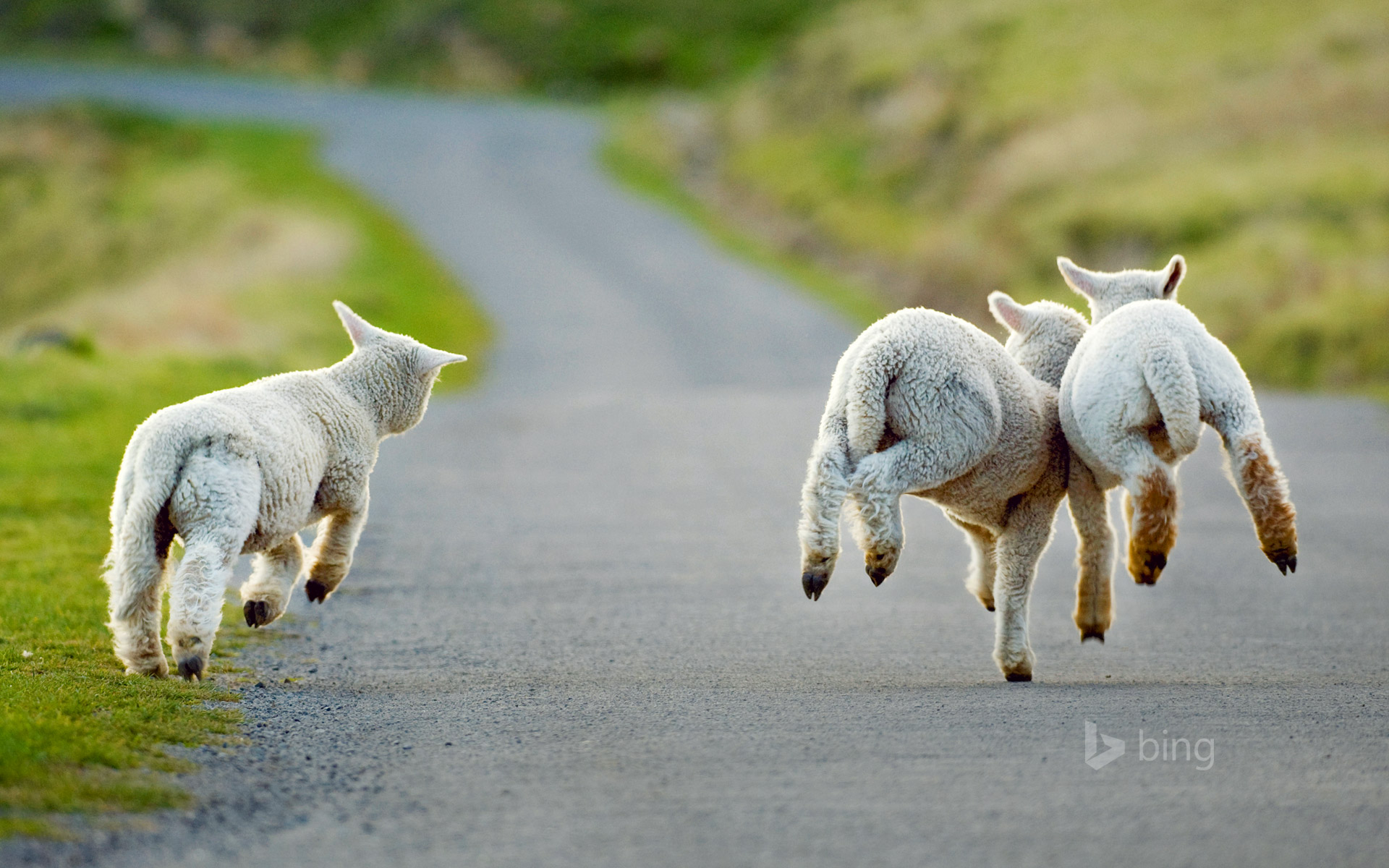 Three lambs frolicking in Christchurch, New Zealand
