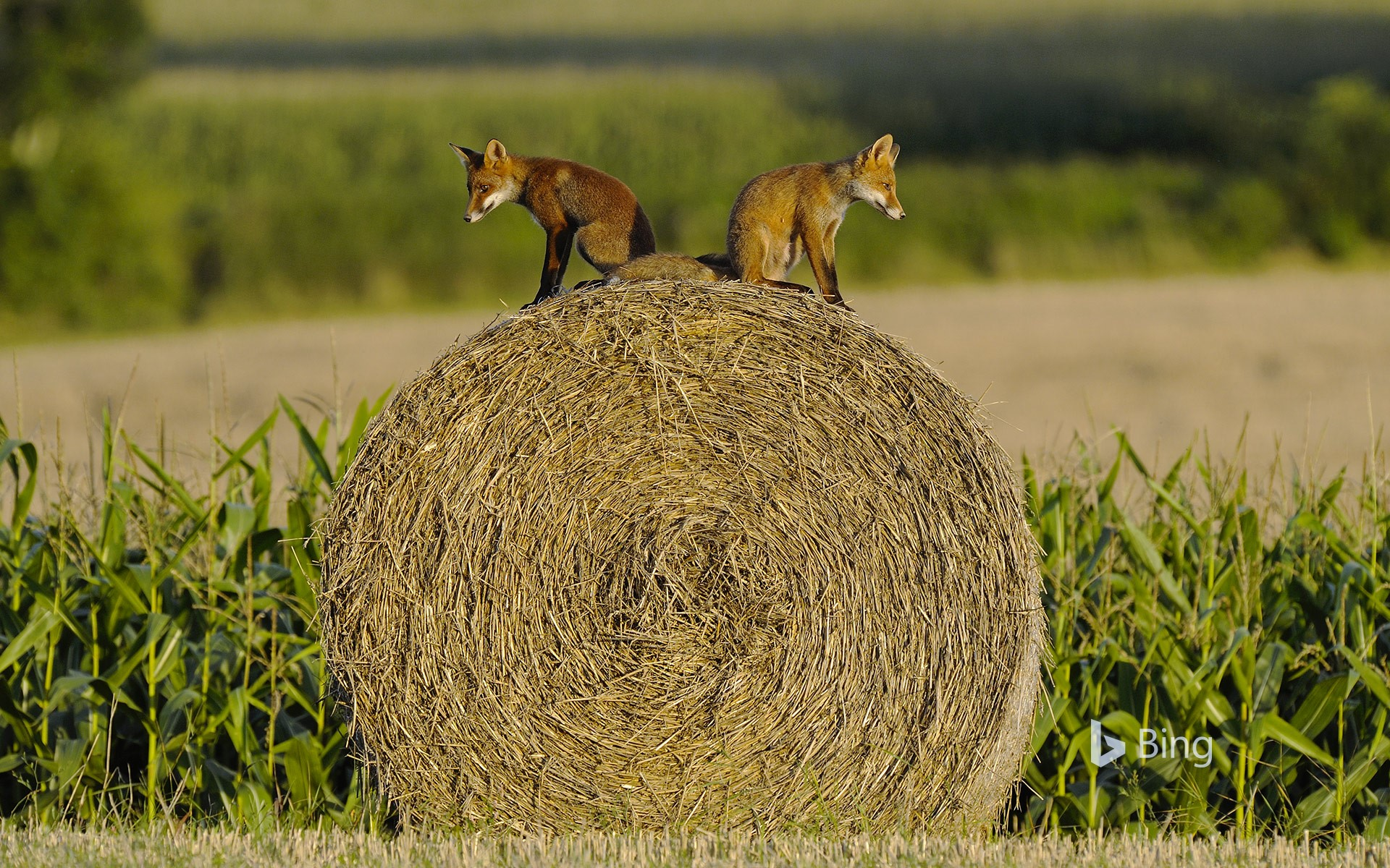 Young red foxes on a hay bale, Vosges, France