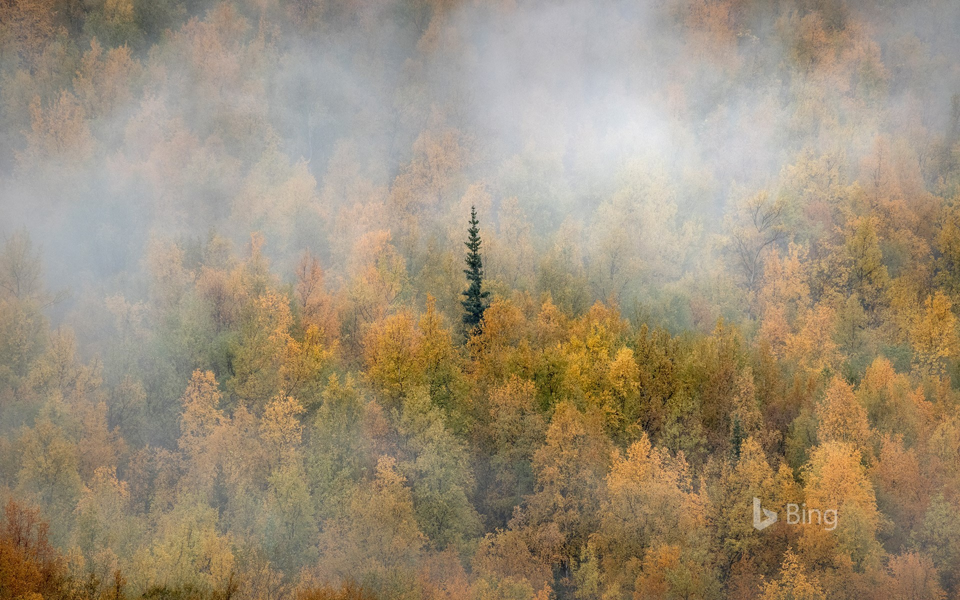 Misty forest in fall colours, Yukon