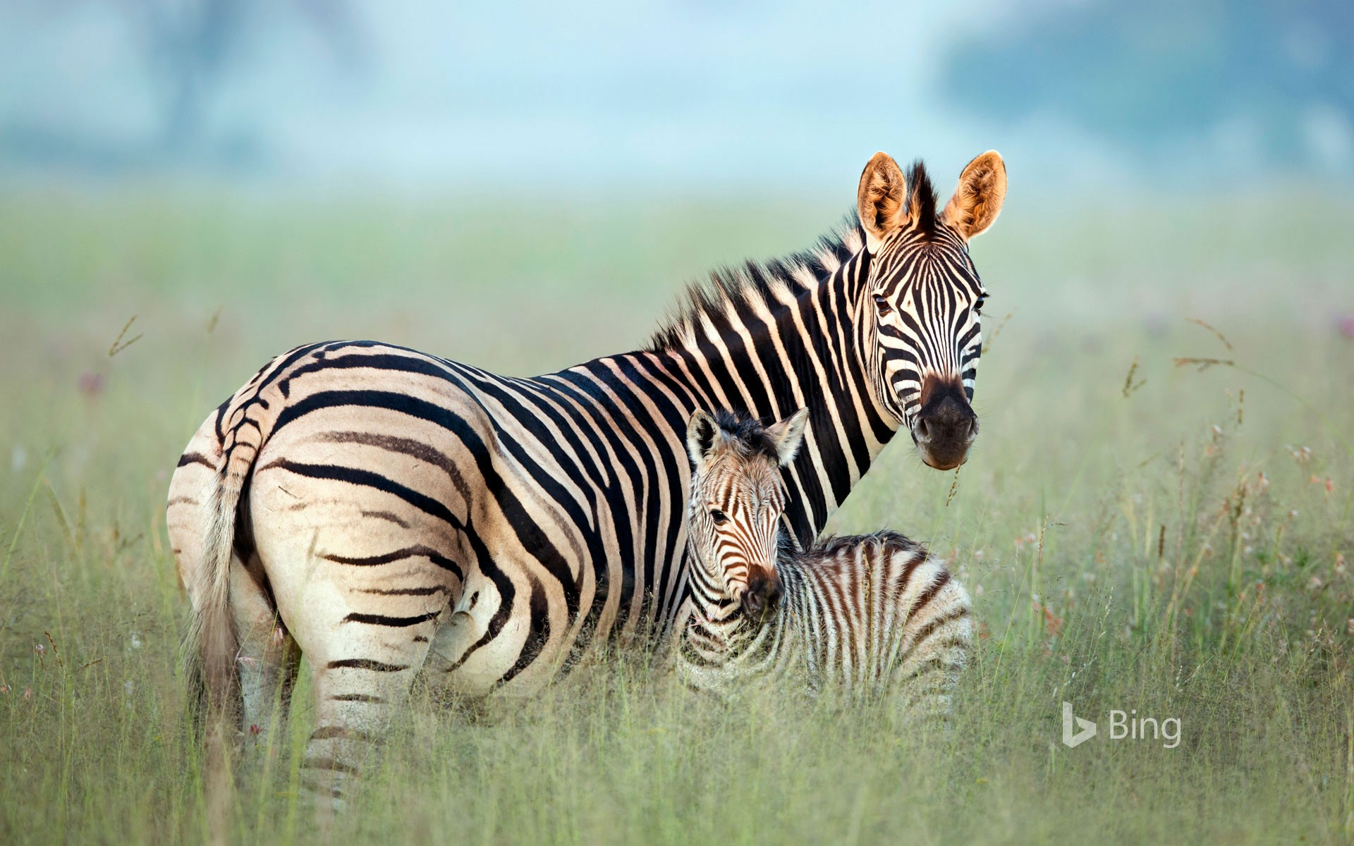 Burchell's zebra mother and foal in Rietvlei Nature Reserve, South Africa