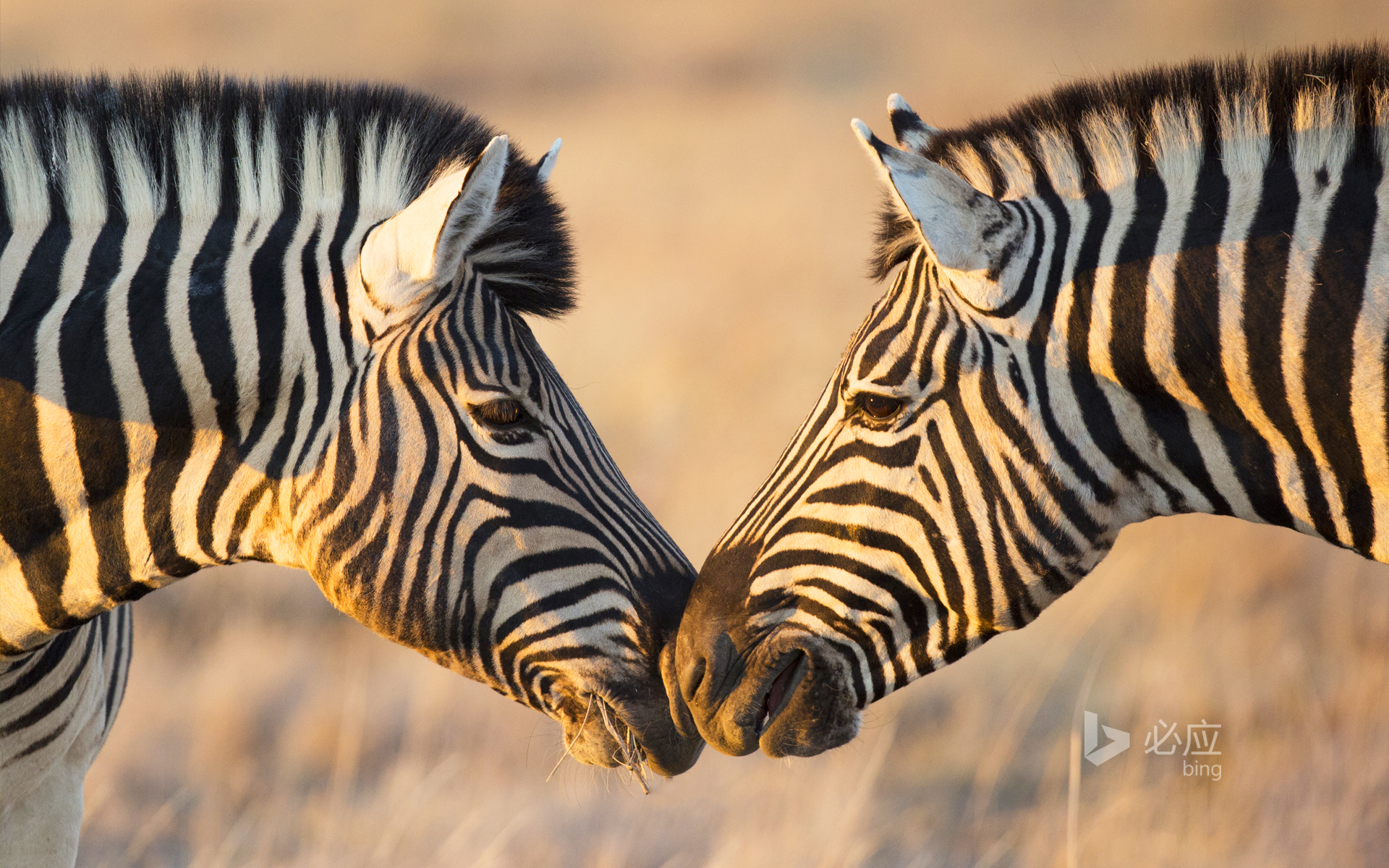 Plains Zebras greeting each other, Etosha National Park, Namibia