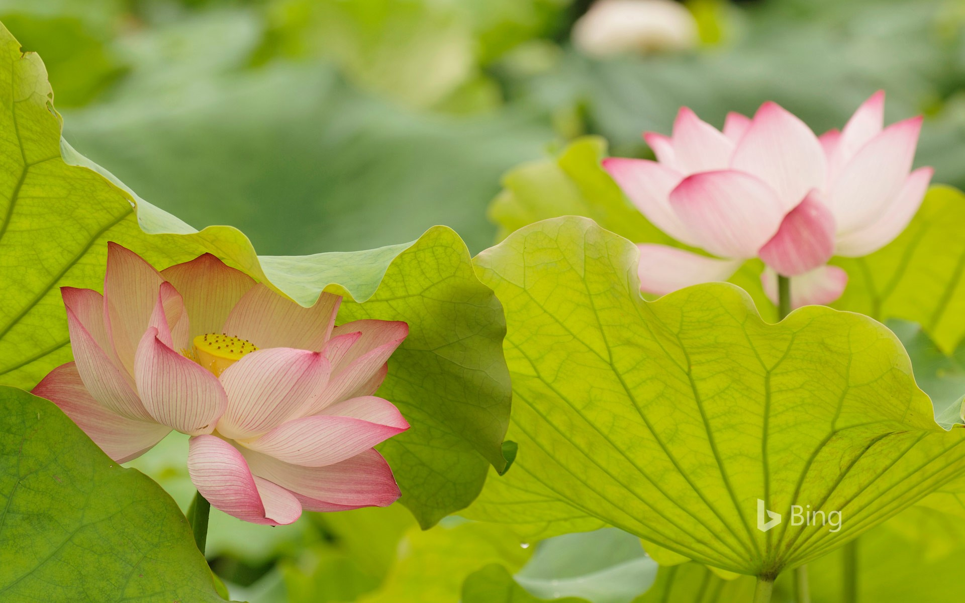 Lotus flowers in China