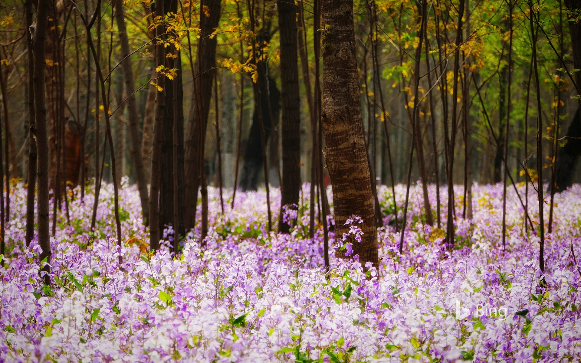 Forest with flowering plants, Beijing, China